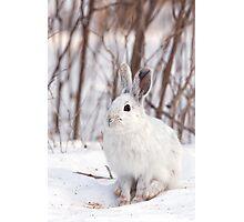 Snowshoe hare (Lepus americanus) in winter Photographic Print