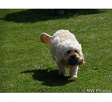 Cockapoo photo Photographic Print