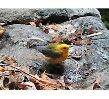 Yellow Warbler Photographic Print