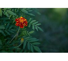 Flowers Tagetes Photographic Print