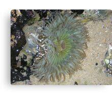 Blue Green Sea Anemone Canvas Print