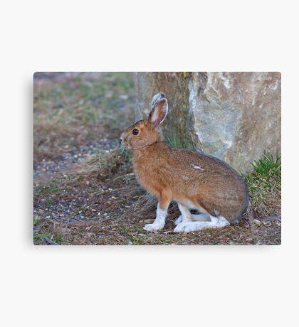 Snowshoe hare (Lepus americanus) in Spring Canvas Print