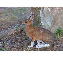 Snowshoe hare (Lepus americanus) in Spring Photographic Print