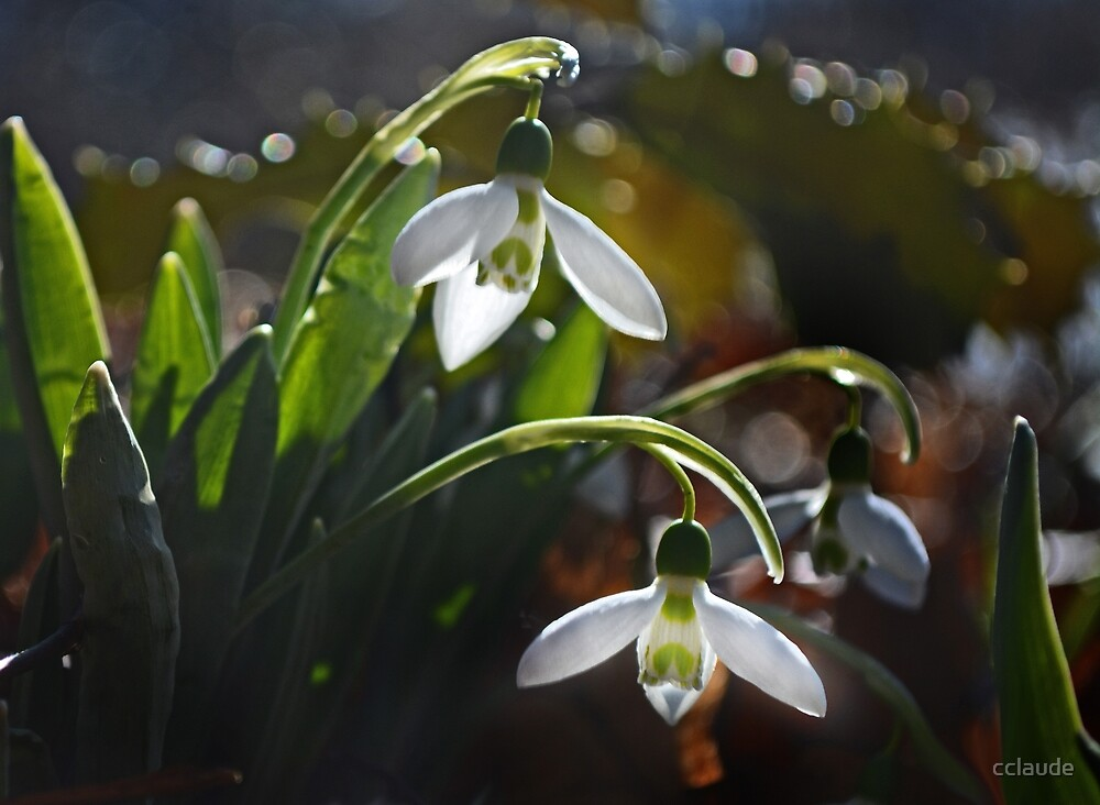 My First Snowdrops by cclaude