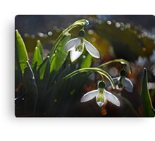My First Snowdrops Canvas Print