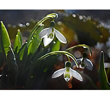 My First Snowdrops Photographic Print