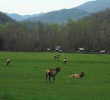 Elk at Oconaluftee Visitor Center - GSMNP by saiberiac