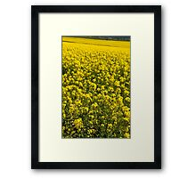 Rapeseed field ready for harvest Framed Print