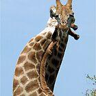 WHEN GIANTS COLLIDE - GIRAFFE – Giraffa Camelopardalis (KAMEELPERD) by Magriet Meintjes