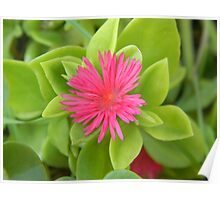Blooming Baby Sun Rose - Bellbird Park  Poster