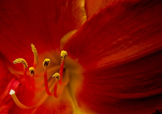 Red Lily Reaching Out by Chantal PhotoPix