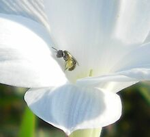 A Very Tiny Bee  by Navigator