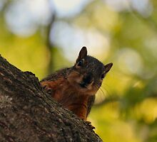 She's back again Bob...get ready to toss acorns! by Keala