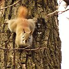 Cute Little Red Squirrel  by lorilee