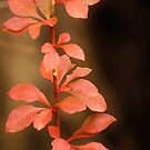Barberry Red  by lorilee