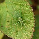 Speckled Bush Cricket by MikeSquires
