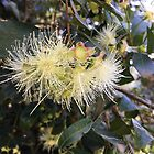 Syzygium australe flowers by Hedgie's Nature & Gardening Journal