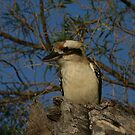 KOOKABURRA   COOK A WHAT by another-paul