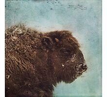 Wood Buffalo Photographic Print