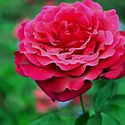 Velvety Deep Pink Rose by imaginethis
