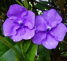 Brunfelsia flower (Yesterday, Today and Tomorrow) by hummingbirds