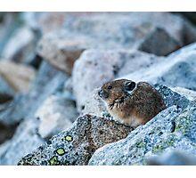 Pika on watch Photographic Print