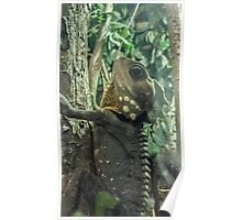 Frill Neck Lizard Photography Poster