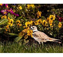 Killdeer by flowers Photographic Print