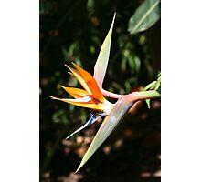 Bird of Paradise Photographic Print