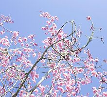 Spring Cherry Tree by lisafoster