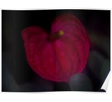 Single Dreamy Begonia Orchid  Poster