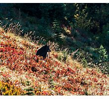 Brown Bear just upwind Photographic Print