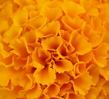 Sunny Marigold by Jennifer Bishop