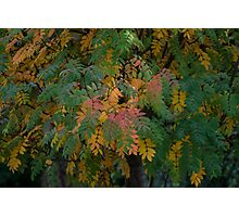 Mountain Ash Photographic Print