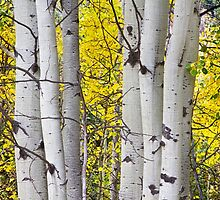 Colorful Autumn Aspen Tree Colonies by Bo Insogna