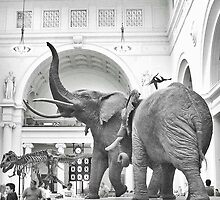 Stanley Field Hall: Chicago's Famous Elephants by Nadya Johnson