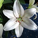 Pure White Lily  by BlueMoonRose