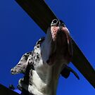 Close-up of great dane by turniptowers
