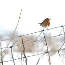 Robin singing on wire fence by turniptowers