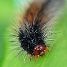 Hairy Caterpillar by DPalmer