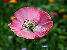 Pink Papaver rhoeas by Evelyn Laeschke