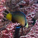 Spotted Dottyback by James Deverich