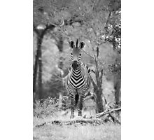 Zebra in Africa - Black and White Photographic Print