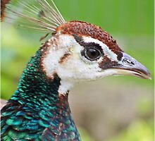 Beautiful Peacock  by Mounty