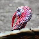 Turkey Time by Mounty