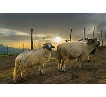 Glowing Sheep Photographic Print