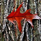 leaf caught in bark on trunk of tree by Laurie Minor