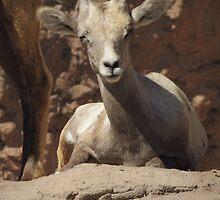 Bighorn Sheep Lamb by Kimberly Chadwick