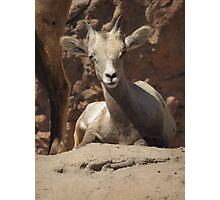 Bighorn Sheep Lamb Photographic Print