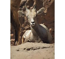 Bighorn Sheep Lamb Photographic Print